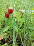 Two strawberries. On a background of green grass in summer Royalty Free Stock Images