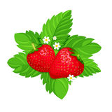 Two strawberries on green leaves. Isolated two strawberries on green leaves with white flowers Cartoon style. Vector illustration Stock Image