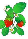 Two strawberry. EPS Vector illustration of a strawberry (it can be used as an illustration for the children's book Royalty Free Stock Photos