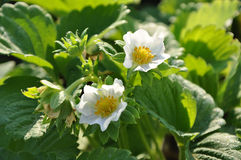 Two strawberry flowers on the stem Royalty Free Stock Image