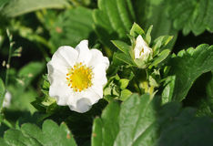Two strawberry flowers on the stem Royalty Free Stock Photos