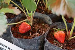 Two Strawberry planting. Planting Strawberry trees with soil in black bag- two red strawberry are planting in black bag Royalty Free Stock Images