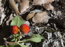 Two strawberry tree fruits. The arbutus or strawberry-tree, Arbutus unedo, is a bush that can grow to up to 3 metres high. It bears red fruit which are edible Stock Photos