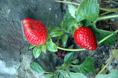 Two strawberrys. 2 strawberrys waiting to be picked royalty free stock image