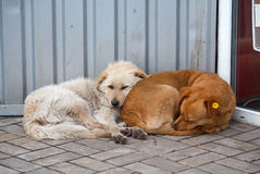 Two stray dog lying close to each other Stock Photography