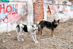 Two stray dogs in the background of  wall with graffiti Royalty Free Stock Images