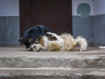 Two stray dogs fighting Royalty Free Stock Image