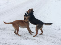 Two stray dogs Stock Photography