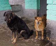 Two stray dogs hide from the rain Stock Images