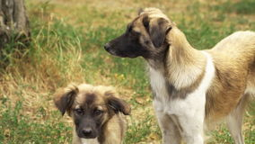 Two stray dogs look around. Slow motion . High speed camera stock footage