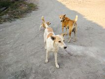 Stray dogs together. Two stray dogs and one puppy playing together outdoors royalty free stock images