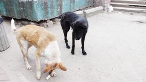 Two stray dogs outdoors play. Two mutts strolling on the street near the people and ask them for a meal stock video