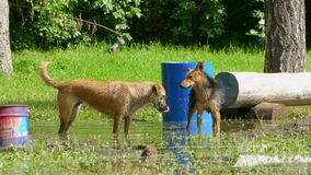 Two stray dogs play in the pool of the park. They bite each other and drink water from a puddle stock video footage