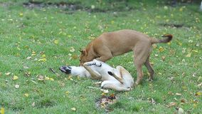Two stray dogs playing in park on grass lawn with yellow leaves. stock video
