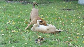 Two stray dogs playing in park on green grass stock video