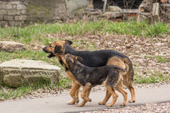 Two stray dogs Stock Photo