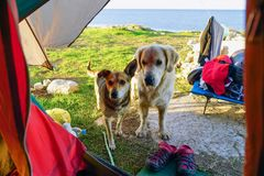Two stray dogs stand at the entrance to the tent. And wait for food stock photography