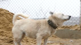 Two stray dogs are walking in the mud. And playing while it is snowing in slow motion stock footage