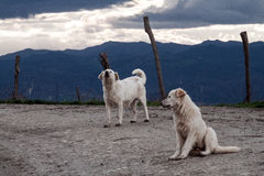 Two stray dogs Stock Image