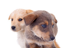 Two stray puppies Stock Images