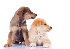 Two stray puppies looking to a side Royalty Free Stock Image