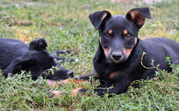 Two stray puppies. Portrait of two stray puppies, Kiev, Ukraine Royalty Free Stock Image