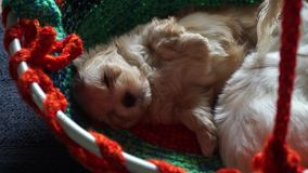 Two streching and sleeping havanese puppys - zoomed. Video of two small sleeping havanese puppys with a macro zoom on a fluffy brown baby, which is streching stock video footage