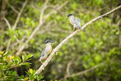Two Striated Heron Butorides Striata royalty free stock images