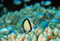 Two-stripe Damsel on a Coral Reef stock photo