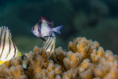 Two Stripe Damselfish Dascyllus reticulatus Fish Royalty Free Stock Images