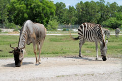 Two striped african animals Royalty Free Stock Photos