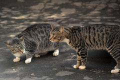 Two striped cat quarrel Stock Photo