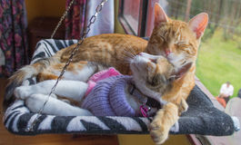 Two striped cats lying on their hammock Stock Photos