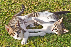 Two striped cats playing Royalty Free Stock Photography