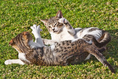 Two striped cats playing Royalty Free Stock Photo