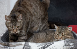 Two striped cats Stock Photo