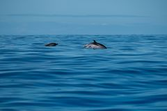 Striped dolphins on calm blue sea royalty free stock images