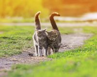 Two striped friendly funny cats love walking on a green meadow i. N early spring in a Sunny stock photo