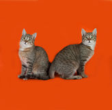 Two striped kitten sitting on orange Stock Photo