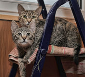 Two striped kitten Royalty Free Stock Photos