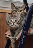 Two striped kitten Stock Photo