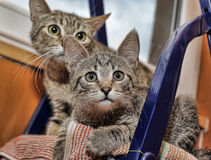 Two striped kitten Stock Images