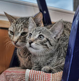 Two striped kitten Royalty Free Stock Image