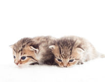 Two striped kitten Royalty Free Stock Images
