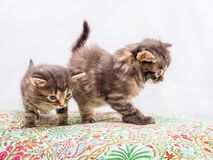 Two striped kittens look at their mom_. Two striped kittens look at their mom Royalty Free Stock Photos