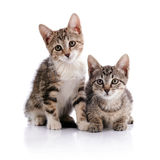 Two striped kittens. Royalty Free Stock Images