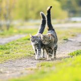 Two striped lovers cat walking near the juicy Sunny meadow in th royalty free stock photo