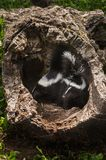 Two Striped Skunk Mephitis mephitis Kits in Log Stock Image