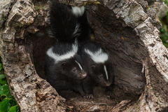 Two Striped Skunk Mephitis mephitis Kits Look Out from Within Stock Photos