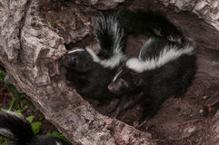 Two Striped Skunks Mephitis mephitis Look Left from Log Stock Photo